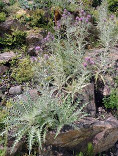 Die Elfenbeindistel (Ptilostemon afer) ist eine der schönsten Disteln für sonnig-heiße Felsanlagen.