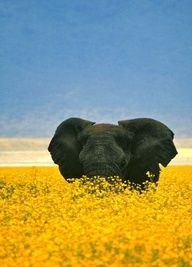 Elephant in a field of wild marigolds