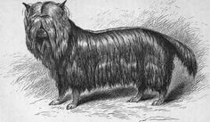 Image result for yorkshire terrier history