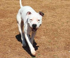 Adopt Sugar, a spayed black and white American Pit Bull Terrier.