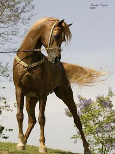 Simeon Arabian Stud   SIMEON SOCHAIN NOW WITH PHOTOS!! - Arabian Horse Specialists - Arabian ...