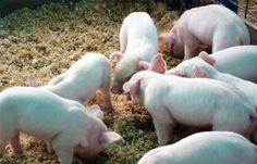 Uno de antibióticos en la alimentación animal