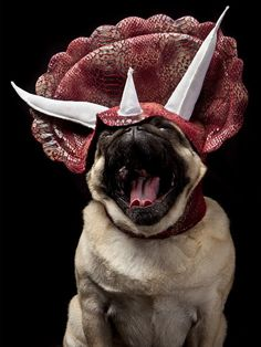 A dog wearing a dinosaur costume while yawning.AND HE'S A PUG ! Pugs In Costume, Dog Costumes, Pugs Dressed Up, Amor Pug, Funny Animals, Cute Animals, Pugs And Kisses, Dog Lady, Dog Wear