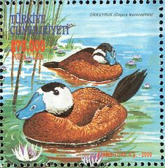 White-headed Duck stamps - mainly images - gallery format