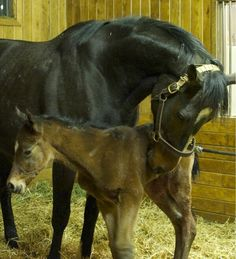 Rachel Alexandra's new foal by Bernardini is a filly! She was born 2/12/13 and weighed in at 140lbs.