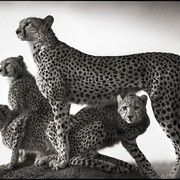 """Cheetah and Cubs, Maasai Mara"" (2003)"