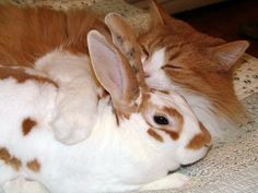 Adorable Ginger cat loves bunny.  How adorable.