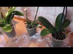 Пересаживать орхидею после покупки? Рекомендации. - YouTube