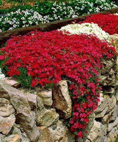 Moss Phlox (Phlox subulata) is a richly flowering, clump-forming phlox that stays green in both summer and winter. In spring these plants produce innumerable crimson and white flowers that attract butterflies. These Phlox like to be planted in full sunshine. Check out BlueSkyRain.com #sprinklers #lighting #landscape #gardening #flowers