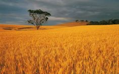 Not sure why, but whenever I try to meditate I often find myself in a golden wheat field...