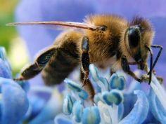 nordicsublime:honeybees - auntiedogmasgardenspot.wordpress.com