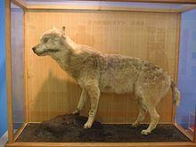 Honshu wolf or Japanese wolf. Extinct 1905.
