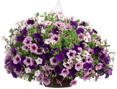 Blueberry Hill | Proven Winners Diamond Frost Supertunia Bordeaux Supertunia Royal Velvet Supertunia Vista Silverberry