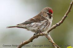 Common Redpoll | Common Redpoll -summer male- (Churchill, Manitoba, Canada)
