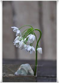 Schunsland (tuin-rozen-vintage en handwerk ): Nog meer bollen...de Allium cowanii...