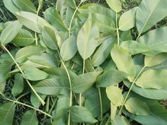 cum vopsim ouale in mod natural Plant Leaves, Natural, Plants, Plant, Nature, Planets, Au Natural