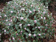 Daphne shrub great winter fragrance p_MP_in_bloom. Small Evergreen Shrubs, Evergreen Bush, Small Shrubs, Trees And Shrubs, Garden Shrubs, Flowering Shrubs, Landscaping Plants, Shade Garden, Garden Plants