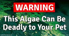 Toxic blue-green algae in ponds may produce harmful compounds that cause liver failure, neurotoxicity and death in dogs within hours of exposure. http://healthypets.mercola.com/sites/healthypets/archive/2016/09/03/blue-green-algae-toxicity-dogs.aspx