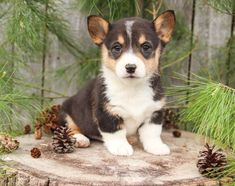 #CorgiLove 💚🐾 Adorable and #FullOfLife, the #WelshCorgi is fun to have around! #Corgi puppies have an independent streak and are enchanting little dogs. ▬▬▬▬▬▬▬▬▬▬▬▬▬▬▬▬▬▬▬ #Charming #PinterestPuppies #PuppiesOfPinterest #Puppy #Puppies #Pups #Pup #Funloving #Sweet #PuppyLove #Cute #Cuddly #Adorable #ForTheLoveOfADog #MansBestFriend #Animals #Dog #Pet #Pets #ChildrenFriendly #PuppyandChildren #ChildandPuppy #LancasterPuppies www.LancasterPuppies.com Corgi Puppies For Sale, Pembroke Welsh Corgi Puppies, Lancaster Puppies, Animals Dog, Little Dogs, Mans Best Friend, Dog Stuff, Puppy Love, Cute Dogs