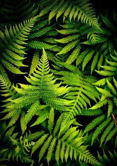 Green 'Ferns'... thru my lens ~ Zeta M Mood