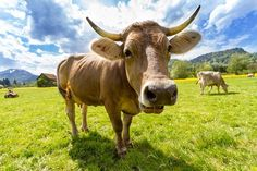 In this article, we clear up the mystery of what to call which cattle. Read on to learn more on what is the difference between a cow and a heifer. Super Cow, Grass Fed Meat, Dairy Cattle, Cute Cows, Green Fields, Paint By Number, Great Pictures, Livestock, Country Decor