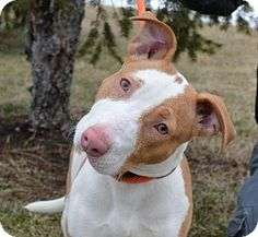 Westampton, NJ - American Staffordshire Terrier. Meet Shane D-63021, a puppy for adoption. http://www.adoptapet.com/pet/12360469-westampton-new-jersey-american-staffordshire-terrier