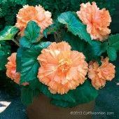 AmeriHybrid® Begonia Ruffled from www.CalBegonia.com #begonia #hangingbegonias #flowers