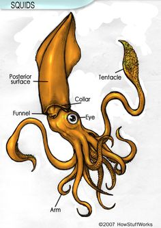 Squid Anatomy - Squid anatomy resembles that of related mollusks such as the octopus. Learn about squid anatomy and how it differs from that of other shelled mollusks. Deep Sea Squid, Squid Drawing, Squid Tattoo, Giant Squid, Octopus Art, Tattoo Outline, Ceramic Animals, Sea Monsters, Zoology
