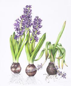 antherandsepal   Botanical illustrations