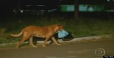 Lilica...the junkyard dog that carries food 4 miles every night to feed her junkyard friends...crossing highways and risking her life.