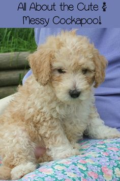 The Cockapoo is one of the most outdoorsy of the small hypoallergenic dogs. The Cockapoo is one of the most loving - and dirty - small hypoallergenic dogs.