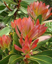 Protea Rubropilosa   New leaves          Transvaal Sugarbush        Transvaalsesuikerbossie            5-8 m           S A no 97