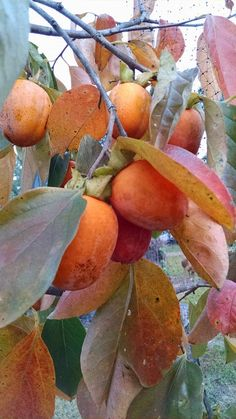 Saijo persimmons are not only the sweetest persimmons in the world, but have beautiful fall color as well.
