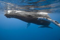 Photograph by - Marc Henauer - Singing Under The Sea - Every year, humpback whales come to Kingdom of Tonga during July to September. The mothers raise their babies and when they are enough strong they go far away to the cold water. This very big male sang during 20 minutes at 20 meters deep before to go up on the surface to breath. We were just above him and the strong of his song made great vibrations across water. You feel this vibrations like if you are in a discoteque.
