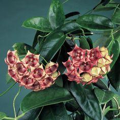 Wax Plant (Hoya archboldiana) - Hoya - Browse by Botanical Name Exotic Plants, Exotic Flowers, Tropical Plants, Beautiful Flowers, Air Plants, Garden Plants, Indoor Plants, House Plants, Wax Flowers