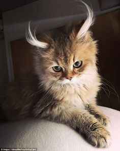 You have cat to be kitten me! This cat boasted distinctive tufty ears and a suitably unimpressed gaze
