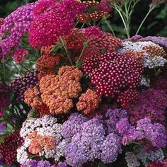 to edge driveway: Colorado Mix yarrow seeds. Flowers in shades of red, pink, apricot, yellow, beige, and white in enormous flower heads in summer. Perennial.