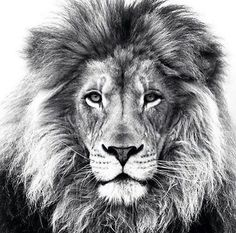 """**R.I.P. Cecil**  """"Of all the animals, man is the only one that is cruel.  He is the only one that inflicts pain for the pleasure of doing it"""" ~ Mark Twain"""