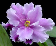 African Violet *LOUISIANA LULLABY* starter plant – Semi-double Lavender