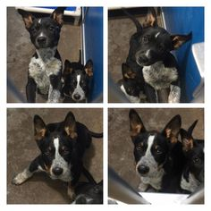 BOTH ADOPTED ❤️❤️4/28/17 GREENVILLE, TX MORE PUPPIES DUMPED‼️ & IN NEED!!Cage 13 - Greenville, TX AVAILABLE NOW! These 2 pups were surrendered to the shelter. They appear to be Australian Cattle Dog mixes (aka Blue Heeler mixes). The puppy with the mostly black face is a female and can be adopted for $77, which includes her mandatory spay and rabies vaccine. The puppy with the white blaze on his face is a male and can be adopted for $57, which includes his mandatory neuter and rabies…