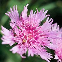 Stoke's aster flowers for several weeks in summer with large fringed blossoms that look similar to cornflowers. Choose from many colors including blue, lavender, pink, and white; all of them attract butterflies.