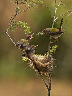 ~ Burung Prenjak, Burung Cinenen Pisang - Perenjak - Prinia Familiaris - Sylviiidae - Common Tailorbird, by Sijanto Nature via Flickr