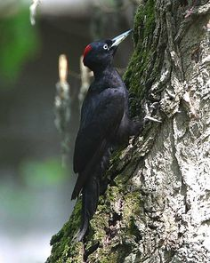 Black Woodpecker (Dryocopus martius) Europe and Asia