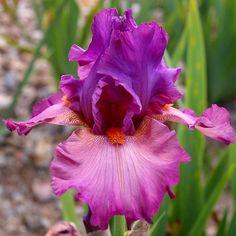 TB Iris 'Dyonisos' (Cayeux, 2009)