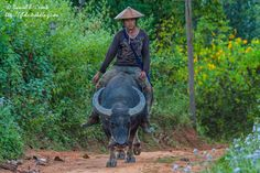 You may be cool, but you'll never be riding a water buffalo cool, Myanmar.
