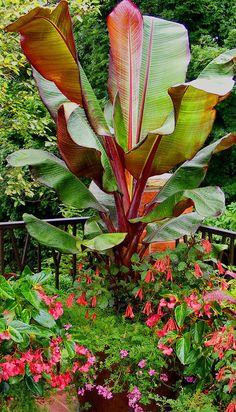 Red banana plant, fuchsia Gartenmeister, pink dragonwing begonia, lavender verbena
