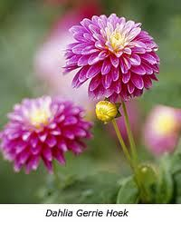 Dahlias - plant in September (morning sun and afternoon shade).
