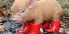 38 Best Pigs images in 2018 | Charlottes web quotes