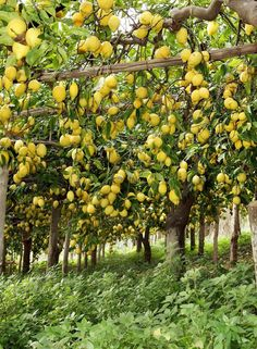 Lemons everywhere! 🍋🍋🍋 DM for promotion, shoutout, advertisement! Tag to be featured Fruit Plants, Fruit Garden, Garden Trees, Fruit Trees, Garden Of Earthly Delights, Citrus Trees, Cottage In The Woods, Green Life, Mellow Yellow