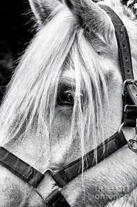Horse Photograph - Percheron Horse by Tim Gainey